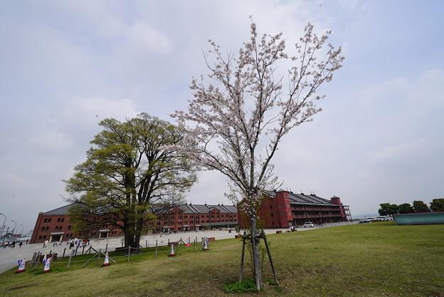 桜と赤レンガ倉庫