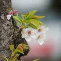 Photos: 胴ぶき桜