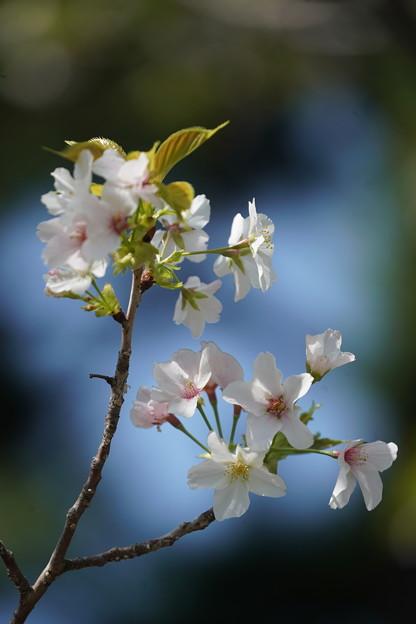 柳津高桑星桜