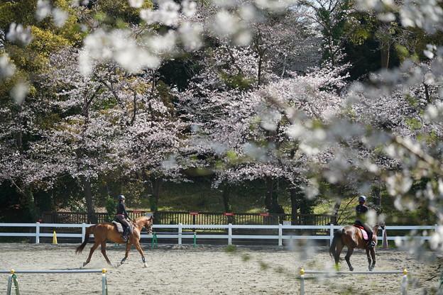 馬術練習場の桜