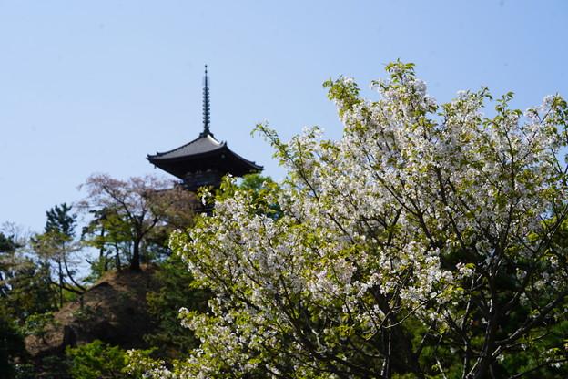 桜と三重塔