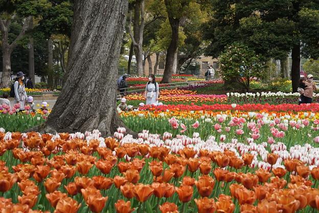 チューリップの花々