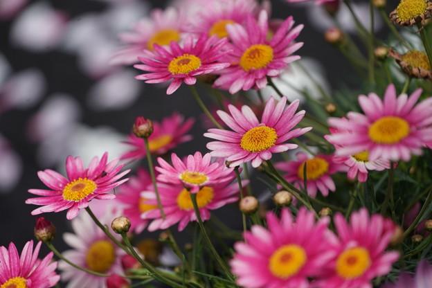 デージーの花々