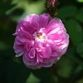 Photos: ピンクサプライズ