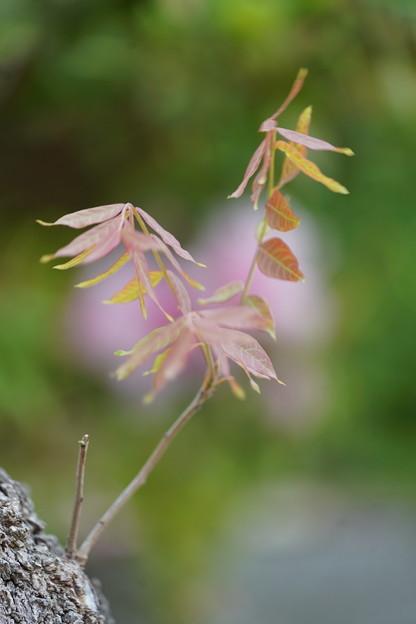 カイノキの若葉