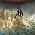 サボテンと蝶