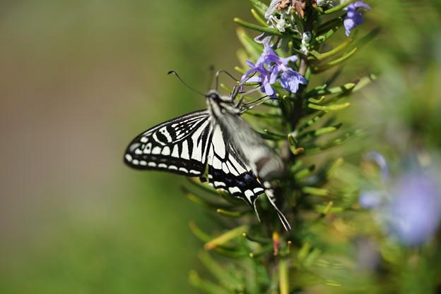 ローズマリーと蝶