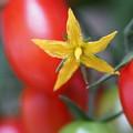Photos: トマトの花