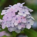 舞子紫陽花