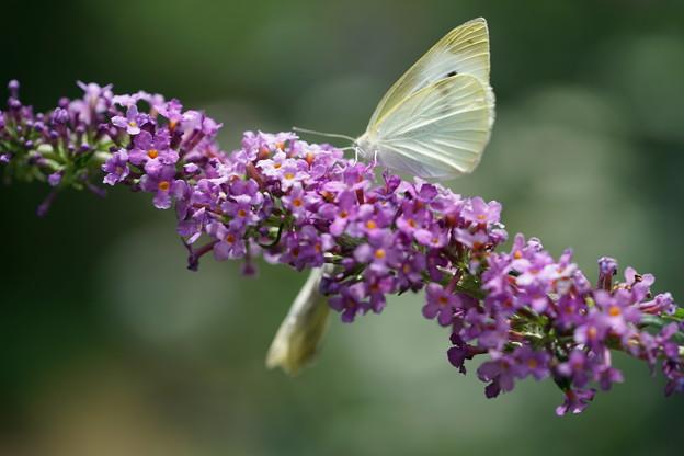 蝶とブッドレア