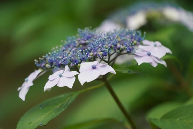 五つ星山紫陽花
