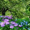 山下公園の紫陽花