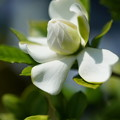 Photos: 梔子の花