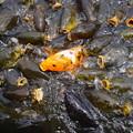 Photos: 群れる鯉