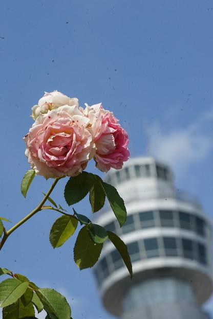 薔薇とマリンタワー