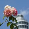 Photos: 薔薇とマリンタワー