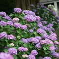 Photos: 紫陽花の花々