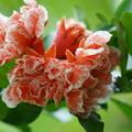 Photos: 柘榴の花