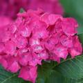Photos: 赤い紫陽花