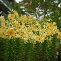 百合の花々