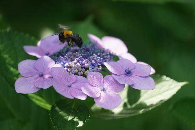 Photos: 紫陽花とクマバチ