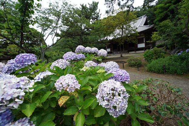 紫陽花と旧東慶寺仏殿