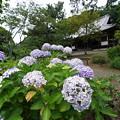 Photos: 紫陽花と旧東慶寺仏殿