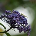 紫陽花と蟷螂