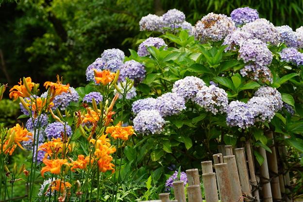 ヤブカンゾウと紫陽花