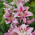 Photos: 百合の花々