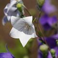 Photos: 白い桔梗
