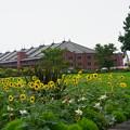 向日葵と赤レンガ倉庫