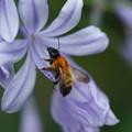 アガパンサスと蜂