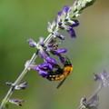 Photos: サルビアと蜂