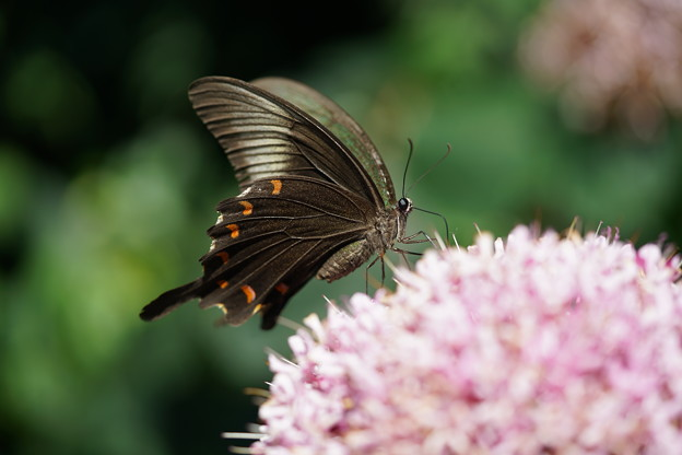 カラスアゲハチョウ