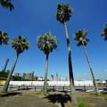 新山下ふ頭の椰子の木