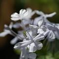 Photos: 白いルリマツリ