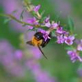 Photos: ミソハギと蜂
