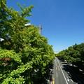 Photos: 夏の銀杏並木