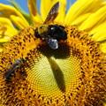 クマバチと向日葵
