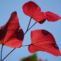 アメリカハナズオウの葉