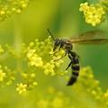 オミナエシと蜂