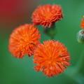 Photos: 初秋の花