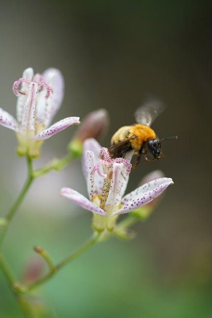 Photos: ホトトギスと蜂