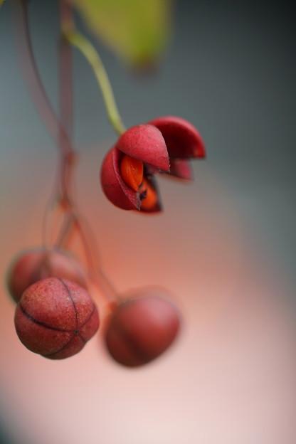ツリバナの種