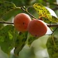 Photos: 柿