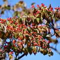 花水木の種