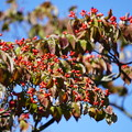 Photos: 花水木の種