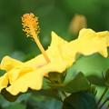Photos: 黄色いハイビスカス