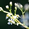 Photos: 白山菊